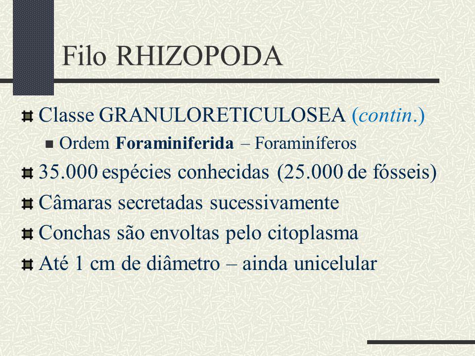 Classe GRANULORETICULOSEA (contin.) Ordem Foraminiferida – Foraminíferos 35.000 espécies conhecidas (25.000 de fósseis) Câmaras secretadas sucessivamente Conchas são envoltas pelo citoplasma Até 1 cm de diâmetro – ainda unicelular Filo RHIZOPODA