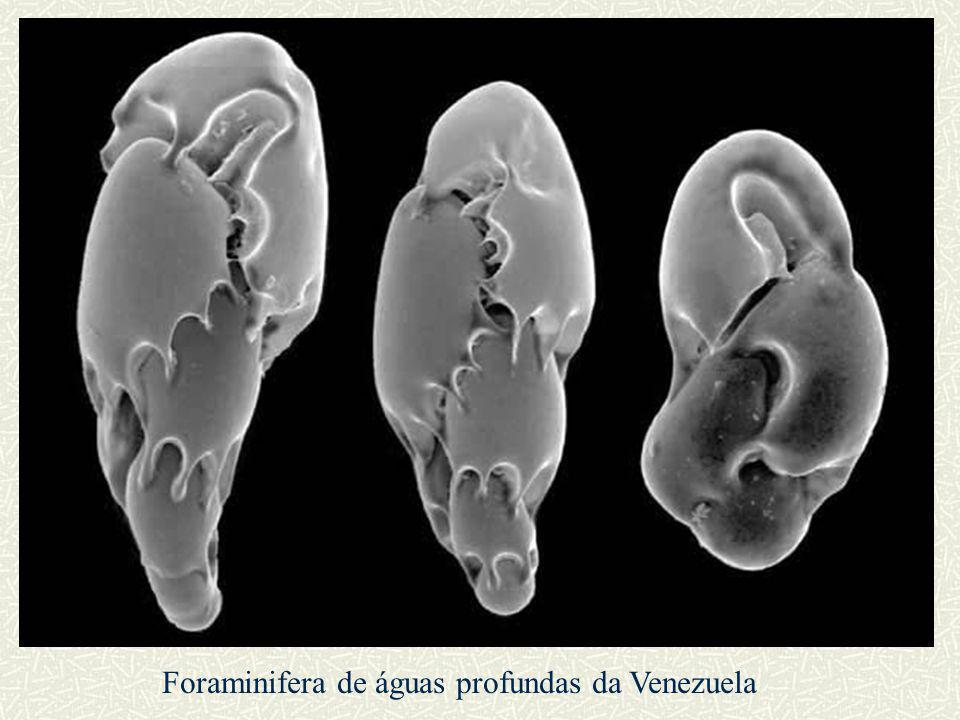 Foraminifera de águas profundas da Venezuela
