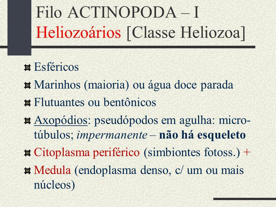 Filo ACTINOPODA – I Heliozoários [Classe Heliozoa] Esféricos Marinhos (maioria) ou água doce parada Flutuantes ou bentônicos Axopódios: pseudópodos em agulha: micro- túbulos; impermanente – não há esqueleto Citoplasma periférico (simbiontes fotoss.) + Medula (endoplasma denso, c/ um ou mais núcleos)