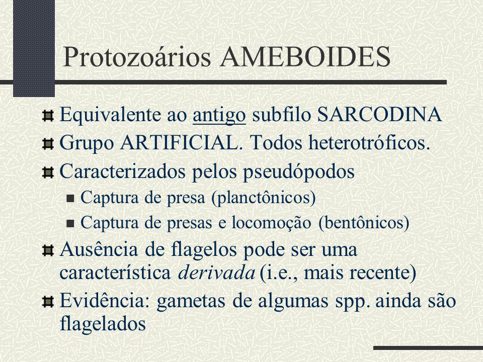 Protozoários AMEBOIDES Equivalente ao antigo subfilo SARCODINA Grupo ARTIFICIAL.
