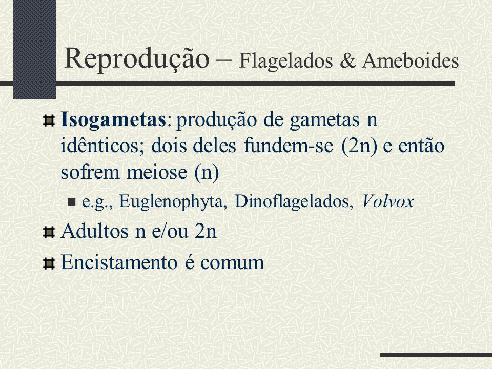 Reprodução – Flagelados & Ameboides Isogametas: produção de gametas n idênticos; dois deles fundem-se (2n) e então sofrem meiose (n) e.g., Euglenophyta, Dinoflagelados, Volvox Adultos n e/ou 2n Encistamento é comum