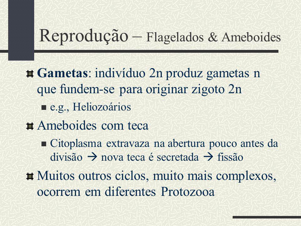 Gametas: indivíduo 2n produz gametas n que fundem-se para originar zigoto 2n e.g., Heliozoários Ameboides com teca Citoplasma extravaza na abertura pouco antes da divisão nova teca é secretada fissão Muitos outros ciclos, muito mais complexos, ocorrem em diferentes Protozooa Reprodução – Flagelados & Ameboides