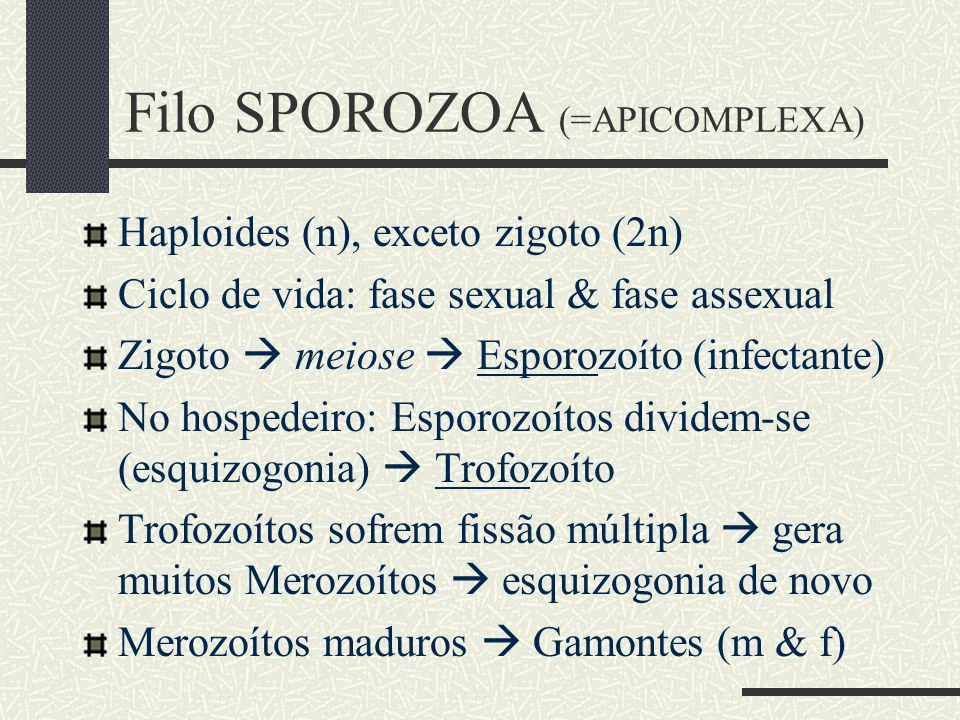 Haploides (n), exceto zigoto (2n) Ciclo de vida: fase sexual & fase assexual Zigoto meiose Esporozoíto (infectante) No hospedeiro: Esporozoítos dividem-se (esquizogonia) Trofozoíto Trofozoítos sofrem fissão múltipla gera muitos Merozoítos esquizogonia de novo Merozoítos maduros Gamontes (m & f) Filo SPOROZOA (=APICOMPLEXA)