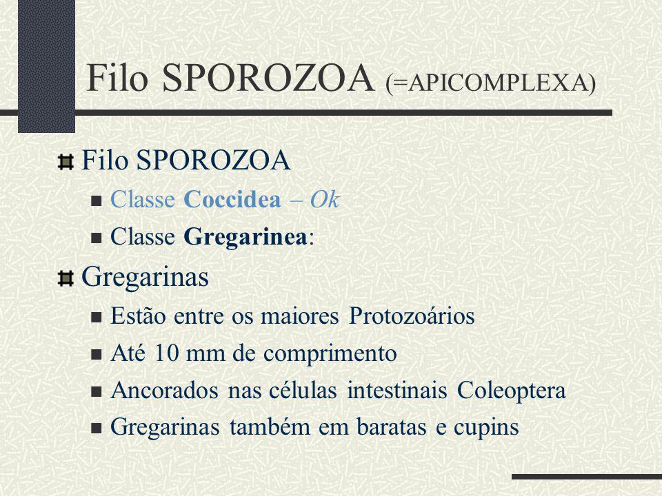 Filo SPOROZOA Classe Coccidea – Ok Classe Gregarinea: Gregarinas Estão entre os maiores Protozoários Até 10 mm de comprimento Ancorados nas células intestinais Coleoptera Gregarinas também em baratas e cupins Filo SPOROZOA (=APICOMPLEXA)