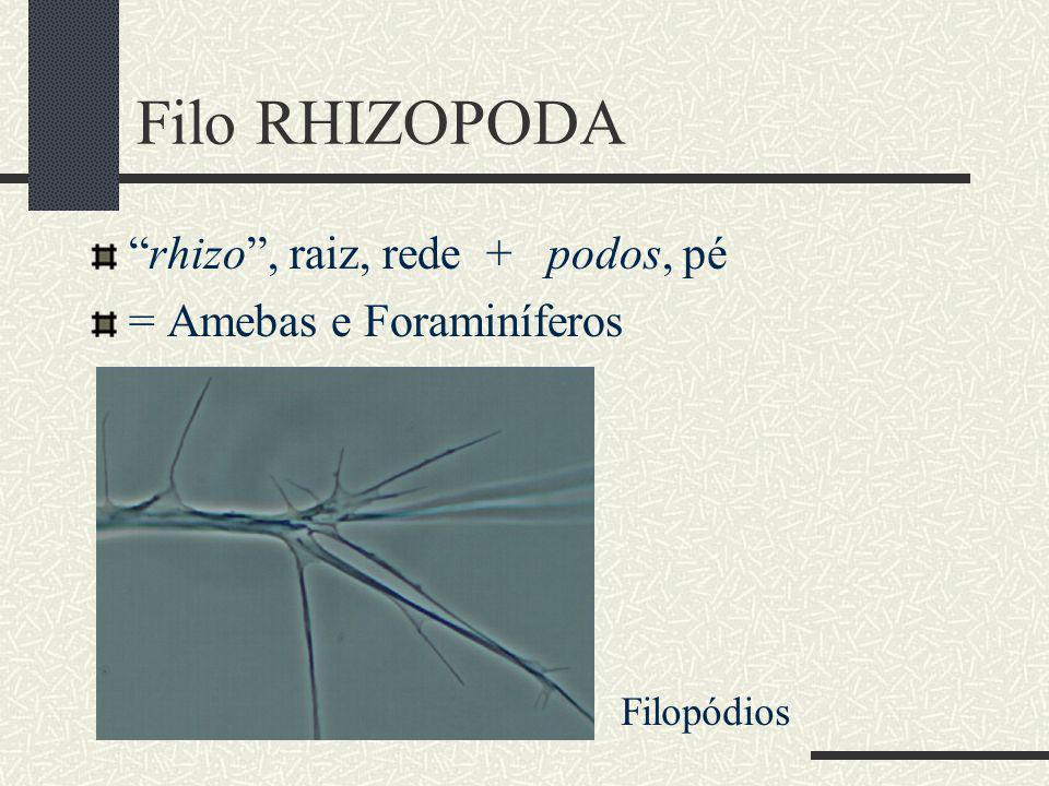 Filo RHIZOPODA rhizo, raiz, rede + podos, pé = Amebas e Foraminíferos Filopódios
