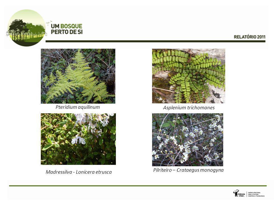 Asplenium trichomanes Pteridium aquilinum Pilriteiro – Crataegus monogyna Madressilva - Lonicera etrusca