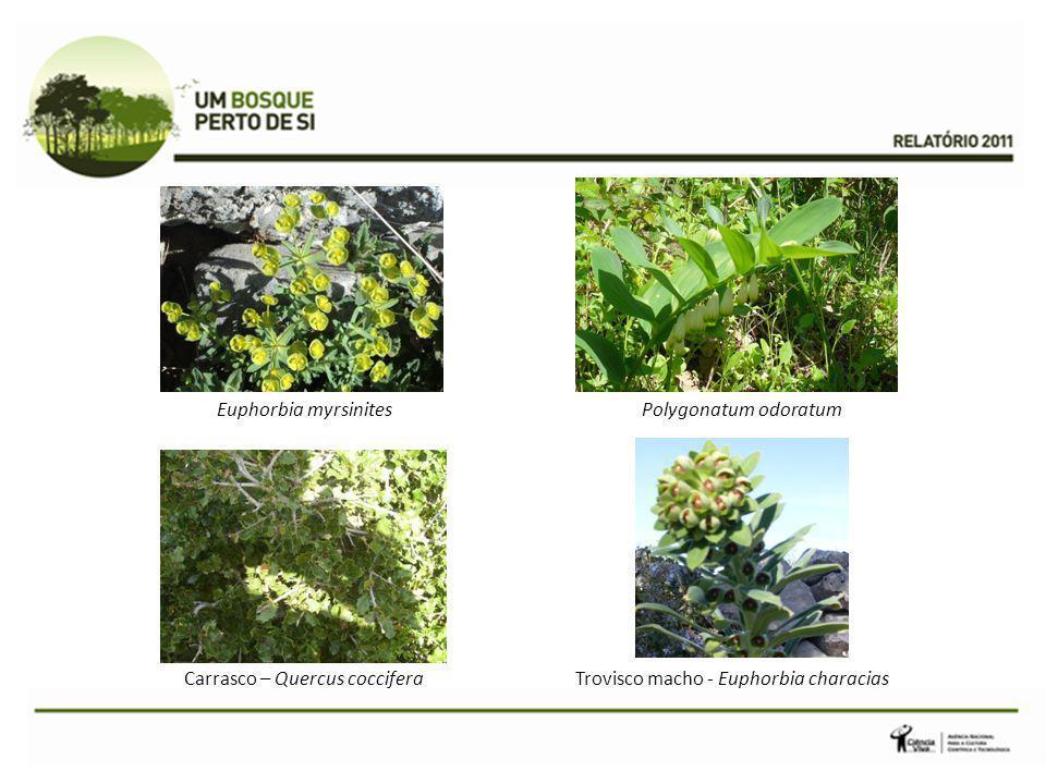 Euphorbia myrsinites Trovisco macho - Euphorbia characiasCarrasco – Quercus coccifera Polygonatum odoratum