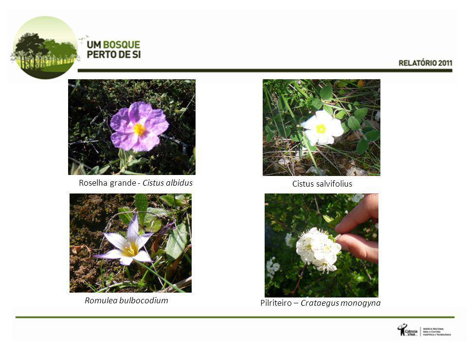 Cistus salvifolius Roselha grande - Cistus albidus Pilriteiro – Crataegus monogyna Romulea bulbocodium