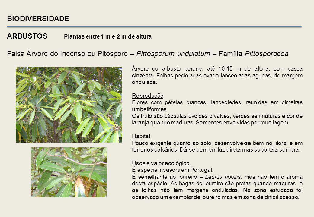 BIODIVERSIDADE ÁRVORES Medronheiro comum – Género Arbustus – Família Ericaceae CauleFlores Frutos caídosCasca a destacar-se Na área em estudo foram ob