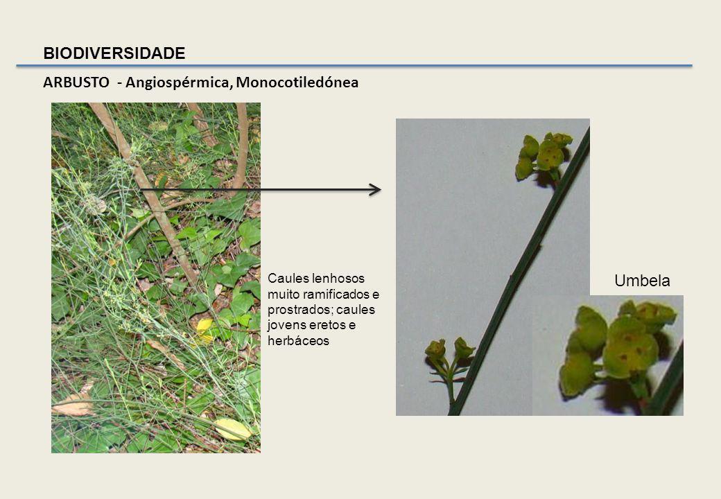 OUTROS ARBUSTOS Gilbardeira - Ruscus aculeatus natal – Família Liliaceae Subarbusto perene, até 80 cm de altura, de cor verde escuro, com rizoma e cau