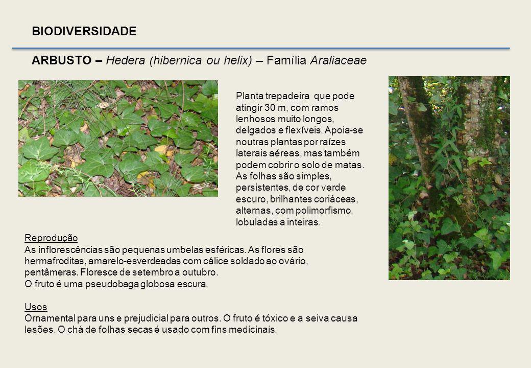ARBUSTO - Angiospérmica, Monocotiledónea BIODIVERSIDADE Caules lenhosos muito ramificados e prostrados; caules jovens eretos e herbáceos Umbela
