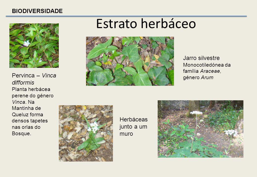 BIODIVERSIDADE ARBUSTO – Hedera (hibernica ou helix) – Família Araliaceae Planta trepadeira que pode atingir 30 m, com ramos lenhosos muito longos, de