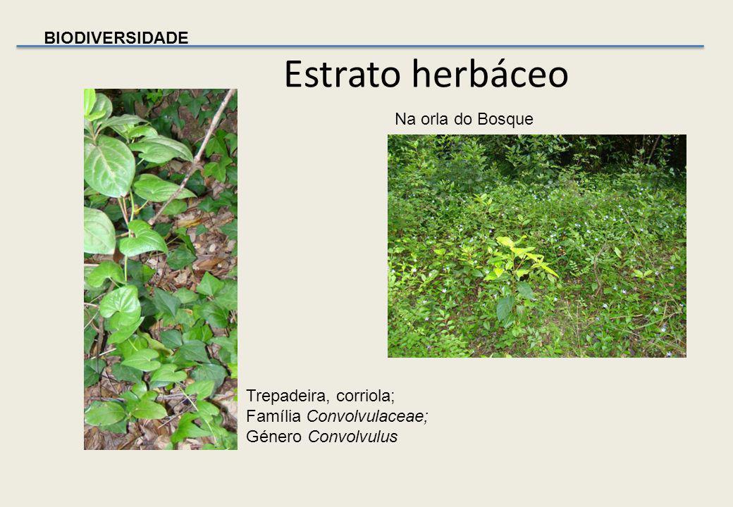 BIODIVERSIDADE Estrato herbáceo Jarro silvestre Monocotiledónea da família Araceae, género Arum Pervinca – Vinca difformis Planta herbácea perene do g