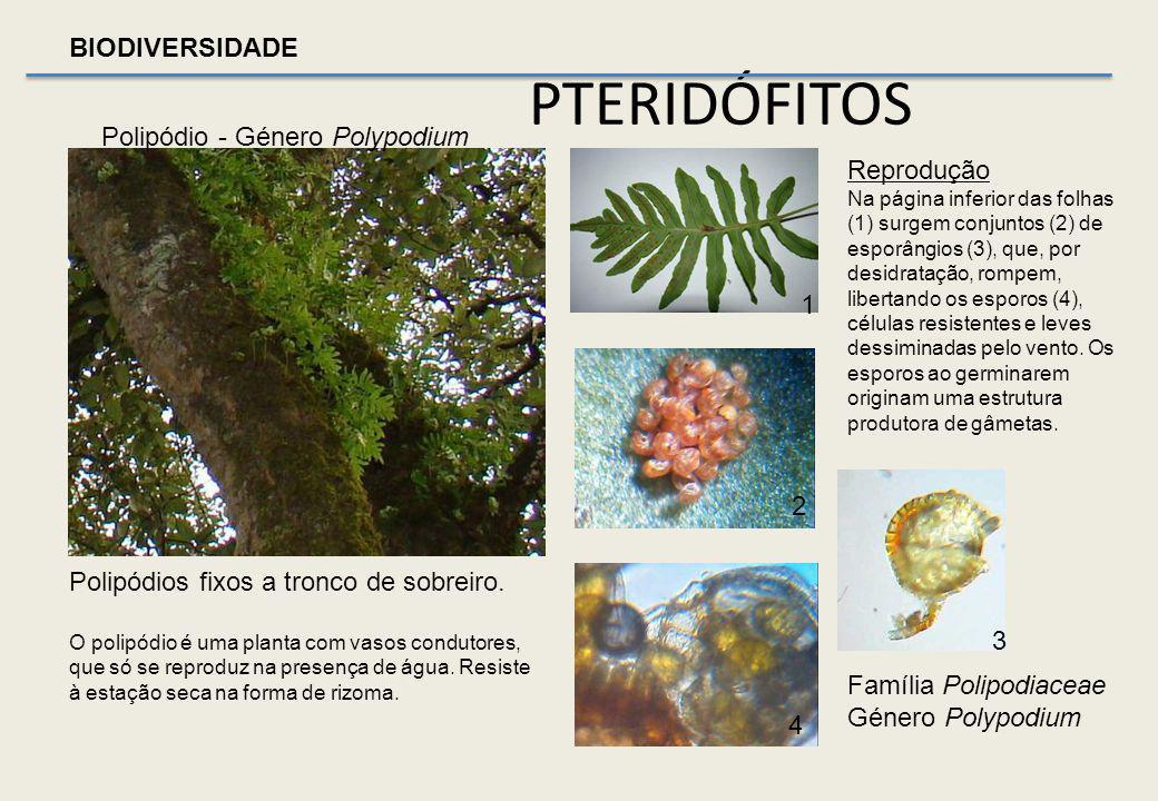 BIODIVERSIDADE Estrato herbáceo Sob as copas Predomínio de Hera, cobrindo a manta morta