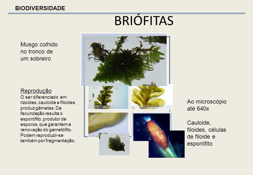 BIODIVERSIDADE BRIÓFITAS Briófitas são plantas terrestres de cor verde, sem vasos condutores, mas com esporângios e gametângios pluricelulares. Rarame