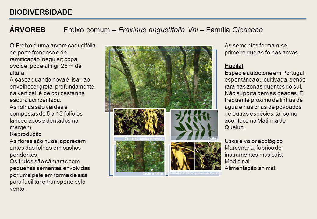 Sobreiro – Quercus suber - Família Fagaceae Ritidoma de SobreiroAmentilhos e Bolota ( manta morta ) Folha – pág. superior e inferior Habitat de várias