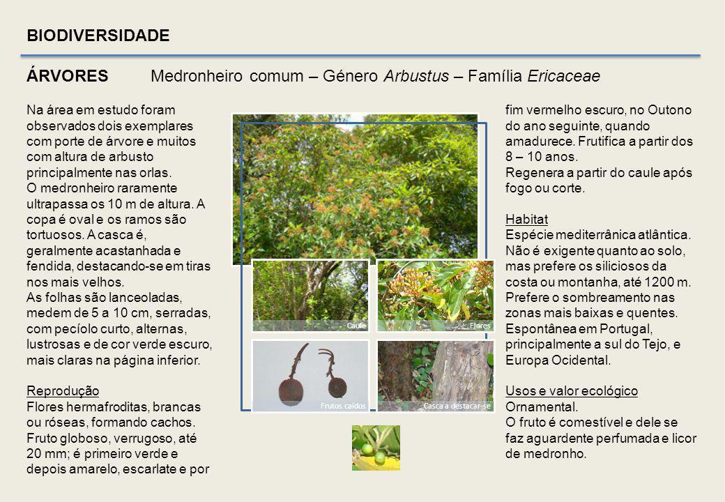 BIODIVERSIDADE ÁRVORES Freixo comum – Fraxinus angustifolia Vhl – Família Oleaceae Sâmaras (extraído de Flora On) Folhas Caule e folhas Sâmaras e folh
