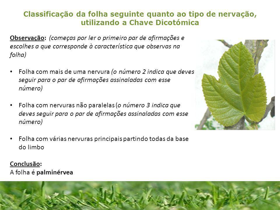 Classificação da folha seguinte quanto ao tipo de nervação, utilizando a Chave Dicotómica 1.Desenha por decalque cada uma das folhas distribuídas.