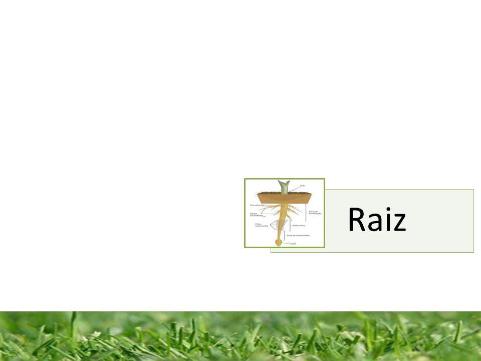 A Raiz fixa a planta ao solo, absorve água e sais minerais em algumas espécies, armazena substâncias de reserva.