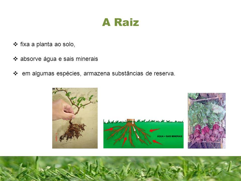 Constituição da raiz Constituição de uma folha completa Colo : é a zona de transição entre o caule e a raiz.