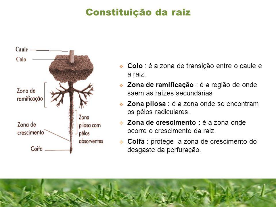 Constituição da raiz Constituição de uma folha completa Colo : é a zona de transição entre o caule e a raiz. Zona de ramificação : é a região de onde