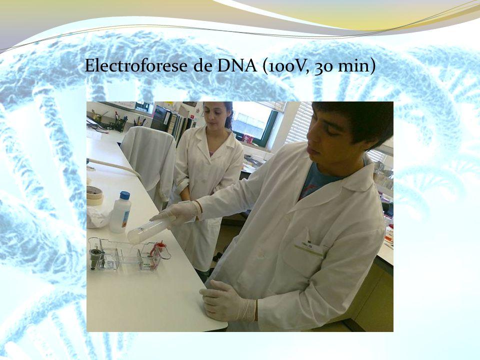 Electroforese de DNA (100V, 30 min)