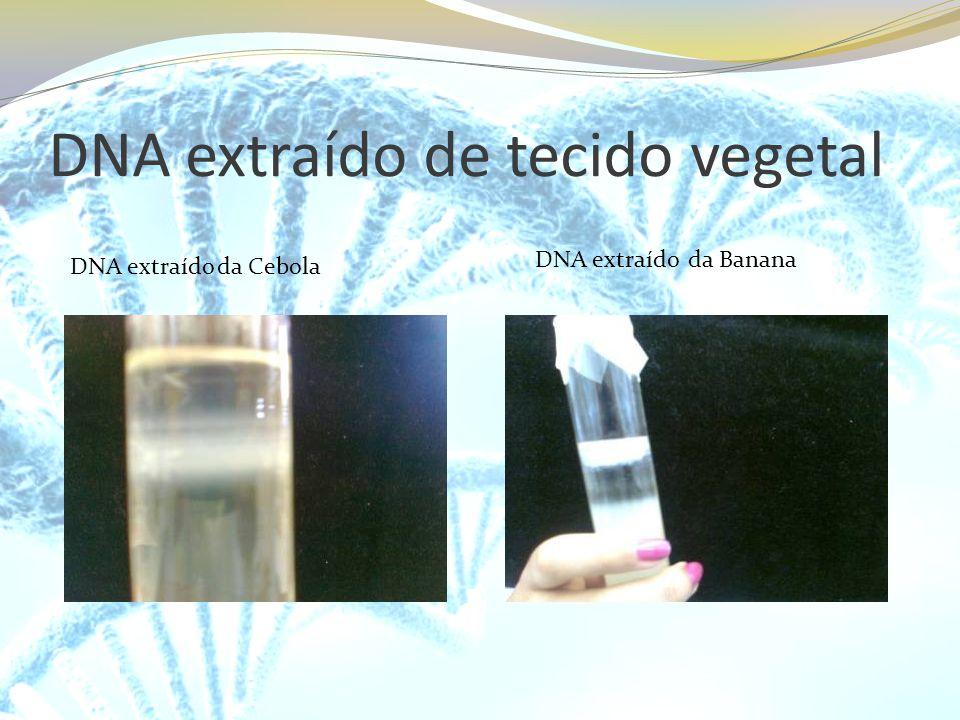 DNA extraído de tecido vegetal DNA extraído da Cebola DNA extraído da Banana