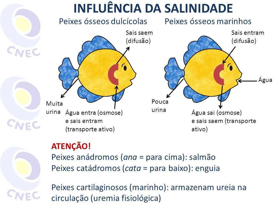 INFLUÊNCIA DA SALINIDADE Peixes ósseos dulcícolas Sais saem (difusão) Água entra (osmose) e sais entram (transporte ativo) Muita urina Peixes ósseos m