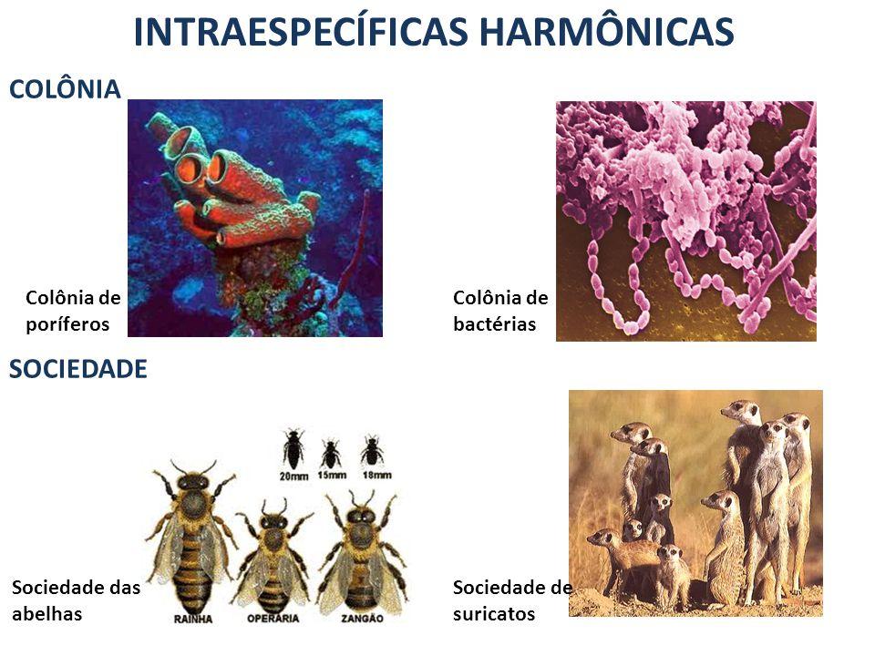 INTRAESPECÍFICAS HARMÔNICAS COLÔNIA SOCIEDADE Colônia de poríferos Colônia de bactérias Sociedade das abelhas Sociedade de suricatos