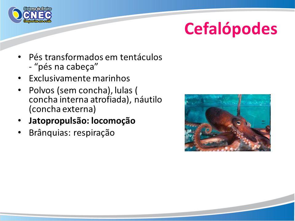 Cefalópodes Pés transformados em tentáculos - pés na cabeça Exclusivamente marinhos Polvos (sem concha), lulas ( concha interna atrofiada), náutilo (c