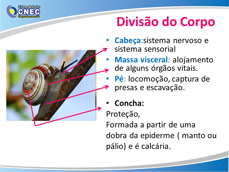 Divisão do Corpo Cabeça:sistema nervoso e sistema sensorial Massa visceral: alojamento de alguns órgãos vitais. Pé: locomoção, captura de presas e esc