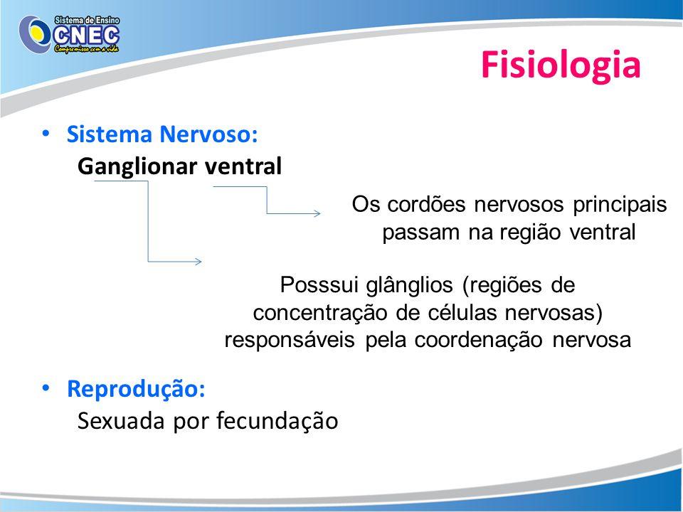 Fisiologia Sistema Nervoso: Ganglionar ventral Reprodução: Sexuada por fecundação Os cordões nervosos principais passam na região ventral Posssui glân