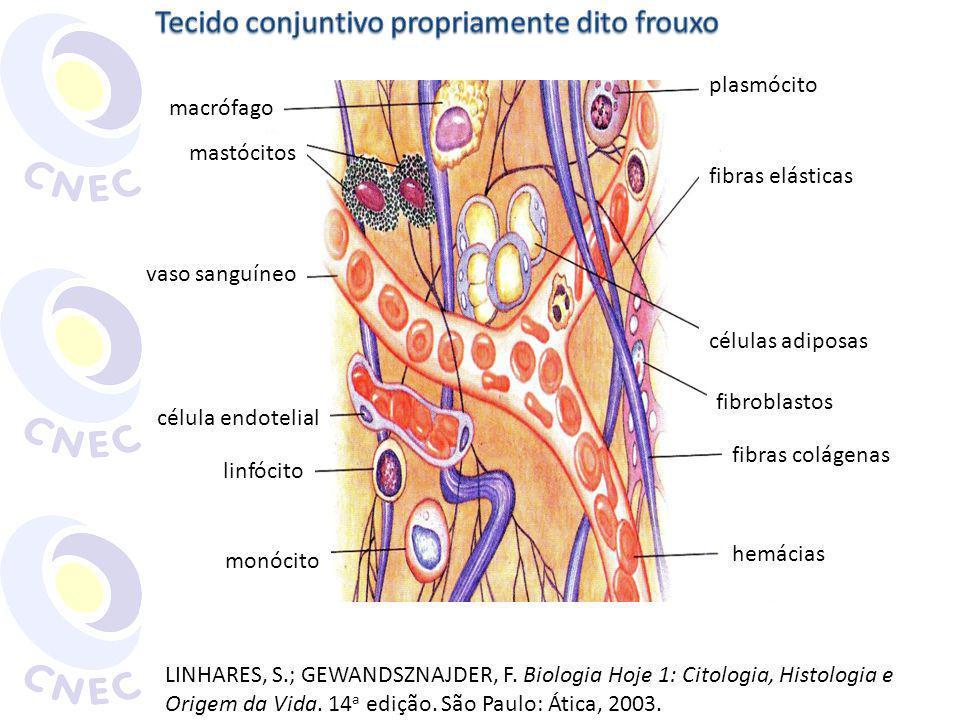 plasmócito fibras elásticas células adiposas fibroblastos fibras colágenas hemácias monócito linfócito célula endotelial vaso sanguíneo mastócitos mac