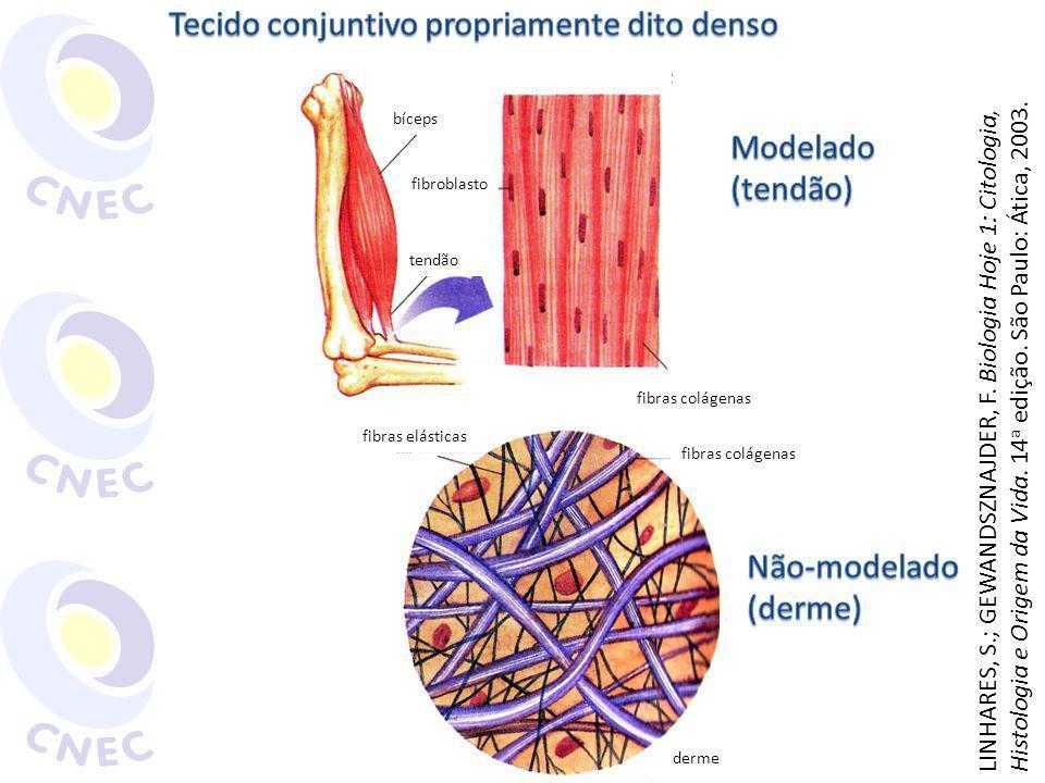 fibras elásticas fibroblasto fibras colágenas bíceps tendão fibras colágenas derme LINHARES, S.; GEWANDSZNAJDER, F. Biologia Hoje 1: Citologia, Histol
