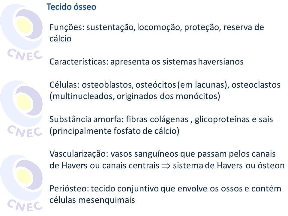 Funções: sustentação, locomoção, proteção, reserva de cálcio Características: apresenta os sistemas haversianos Células: osteoblastos, osteócitos (em