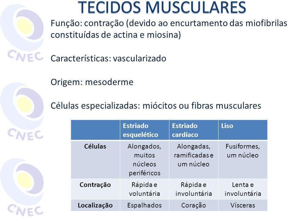 Função: contração (devido ao encurtamento das miofibrilas constituídas de actina e miosina) Características: vascularizado Origem: mesoderme Células e