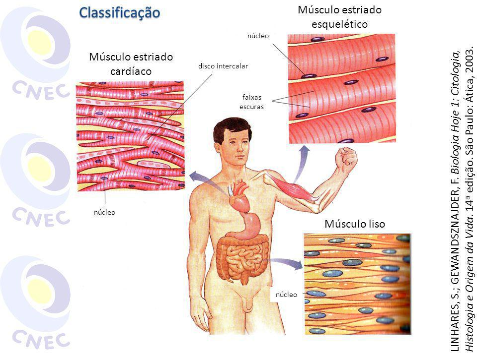 Músculo estriado cardíaco Músculo estriado esquelético Músculo liso núcleo disco intercalar núcleo faixas escuras LINHARES, S.; GEWANDSZNAJDER, F. Bio