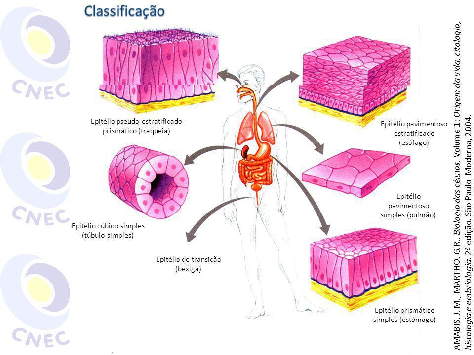 Tipos de cartilagens: Hialina: quantidade moderada de fibras colágenas Fossas nasais, traqueia, brônquios, articulação dos ossos longos Elástica: fibras colágenas e grande quantidade de fibras elásticas Orelha externa, laringe e epiglote Fibrosa: grande quantidade de fibras colágenas Discos intervertebrais