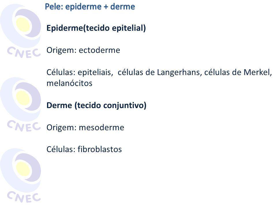 Células adiposas Glândula sudorípara Células epidérmicas Grânulos de melanina Melanina Melanócito AMABIS, J.