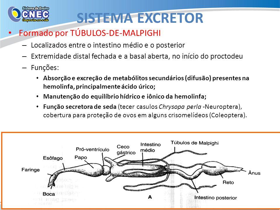 SISTEMA EXCRETOR Formado por TÚBULOS-DE-MALPIGHI – Localizados entre o intestino médio e o posterior – Extremidade distal fechada e a basal aberta, no