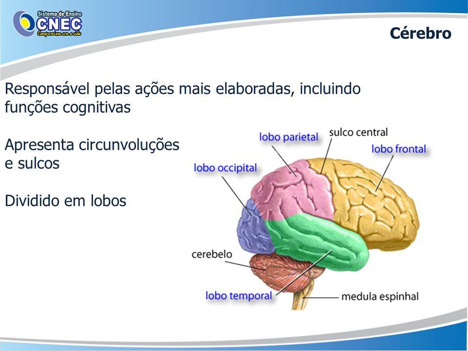 Responsável pelas ações mais elaboradas, incluindo funções cognitivas Apresenta circunvoluções e sulcos Dividido em lobos Cérebro