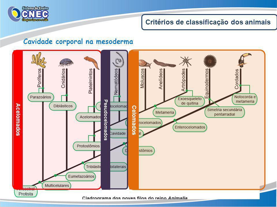 Critérios de classificação dos animais Cavidade corporal na mesoderma Acelomados Celomados Pseudocelomados