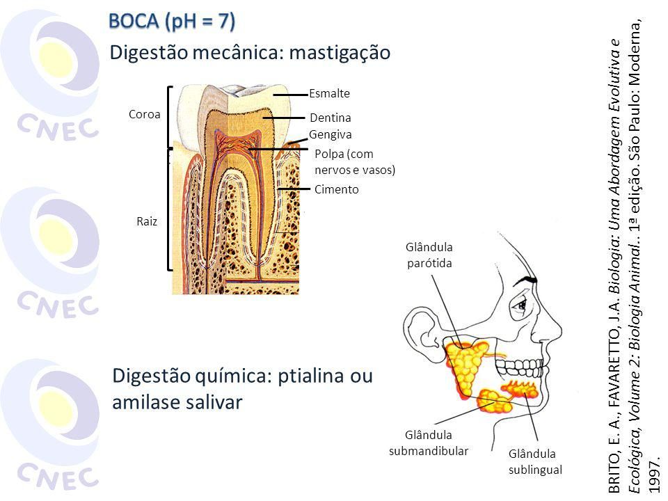 Digestão mecânica: mastigação Esmalte Dentina Gengiva Polpa (com nervos e vasos) Cimento Coroa Raiz Glândula parótida Glândula submandibular Glândula