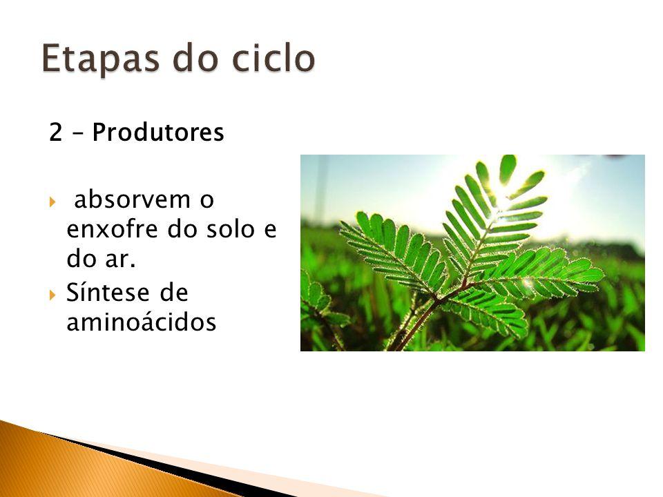 2 – Produtores absorvem o enxofre do solo e do ar. Síntese de aminoácidos