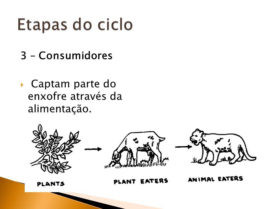 3 – Consumidores Captam parte do enxofre através da alimentação.