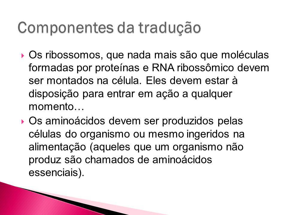 Os ribossomos, que nada mais são que moléculas formadas por proteínas e RNA ribossômico devem ser montados na célula.