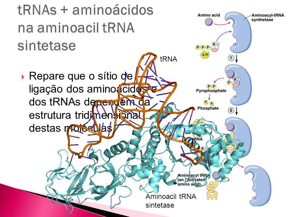 Repare que o sítio de ligação dos aminoácidos e dos tRNAs dependem da estrutura tridimensional destas moléculas.