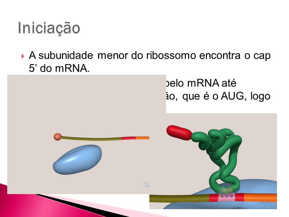 A subunidade menor do ribossomo encontra o cap 5 do mRNA.