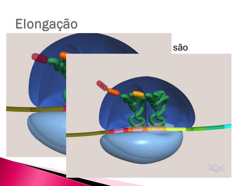 Depois disso, os sucessivos tRNAs são adicionados ao sítio A do ribossomo O tRNA a ser adicionado no próximo códon é necessariamente o que contém o anti-códon apropriado.