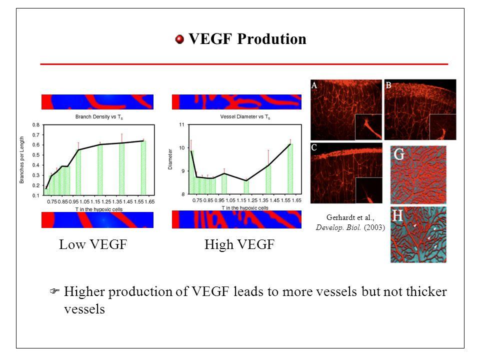 VEGF Prodution Higher production of VEGF leads to more vessels but not thicker vessels Gerhardt et al., Develop.
